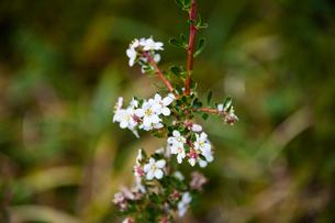 パタゴニアの花:エスカロニア・ビルガータの写真素材 [FYI02739306]