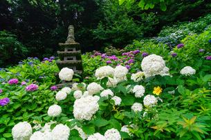 古都鎌倉を彩る長谷寺のアジサイの写真素材 [FYI02739356]