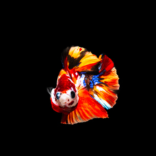 鯉ベタ キャンディーニモの写真素材 [FYI02739428]
