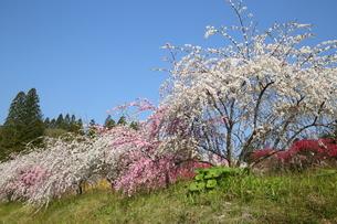 奥三河 設楽町 名倉のしだれ桜の写真素材 [FYI02739435]