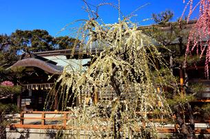 3月 しだれ梅の結城神社の写真素材 [FYI02739455]