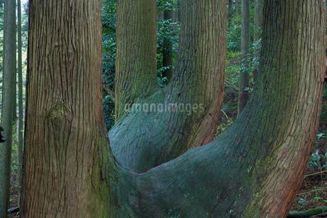 高森殿の杉の写真素材 [FYI02739516]