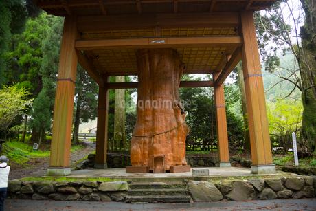 国造神社の手野のスギの写真素材 [FYI02739568]