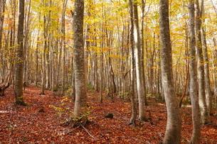 10月 安比高原の紅葉のブナ二次林の写真素材 [FYI02739622]