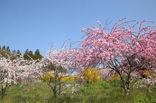 奥三河 設楽町 名倉のしだれ桜の写真素材 [FYI02739629]