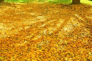 黄葉の絨毯の写真素材 [FYI02739638]
