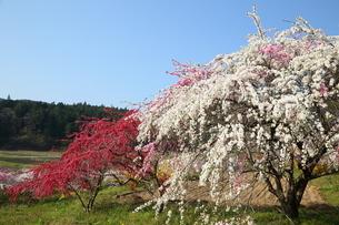 奥三河 設楽町 名倉のしだれ桜の写真素材 [FYI02739718]