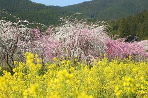 奥三河 設楽町 名倉のしだれ桜と菜の花の写真素材 [FYI02739764]