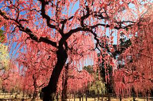 3月 しだれ梅の結城神社の写真素材 [FYI02739891]