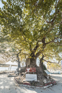 村の入口に立つプラタナスの大木の写真素材 [FYI02739999]