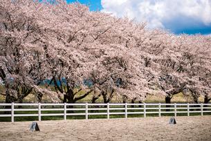 水沢競馬場の桜並木の写真素材 [FYI02740043]