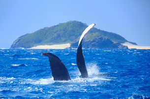 ザトウクジラのペックスラップと嘉比島の写真素材 [FYI02740138]
