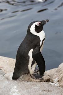 ケープペンギンの写真素材 [FYI02740175]