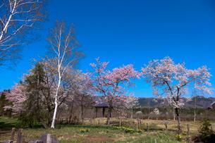 ひるがの湿原植物園の桜の写真素材 [FYI02740406]