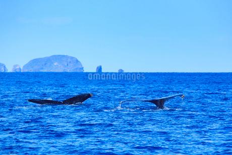 ザトウクジラのペアのプルークアップダイブと牛ノ島の写真素材 [FYI02740591]
