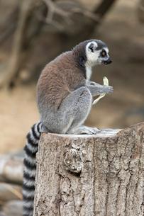 食べるワオキツネザルの写真素材 [FYI02740594]