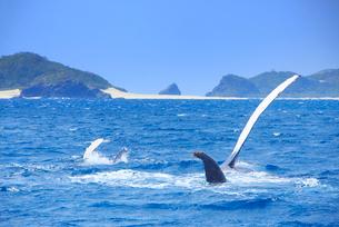 ザトウクジラの親子のペックスラップと嘉比島と神の浜展望台の写真素材 [FYI02740691]