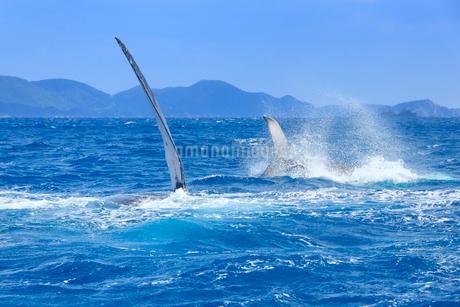 ザトウクジラのペアのペックスラップとテールスラップの写真素材 [FYI02740812]