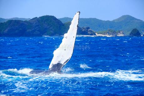 ザトウクジラのペックスラップと安慶名敷島の岩礁の写真素材 [FYI02740927]