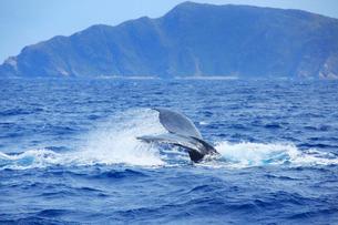 ザトウクジラのプルークアップダイブと屋嘉比島の写真素材 [FYI02740939]