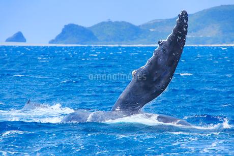 ザトウクジラのペックスラップと神の浜展望台の写真素材 [FYI02741158]