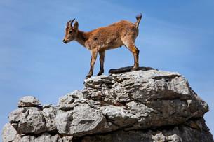 Iberian Ibex (Capra pyrenaica) in the Karst mountainsの写真素材 [FYI02741406]