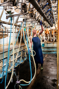 Man wearing apron standing in a milking shed, milking Guernsey cows.の写真素材 [FYI02741982]