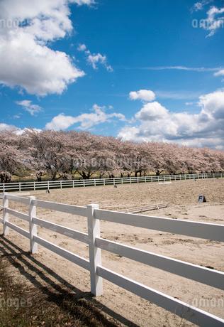 水沢競馬場の桜並木の写真素材 [FYI02744773]