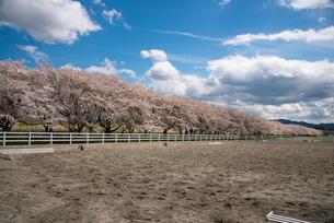 水沢競馬場の桜並木の写真素材 [FYI02744774]