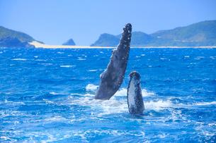 ザトウクジラのペックスラップと嘉比島の写真素材 [FYI02747995]