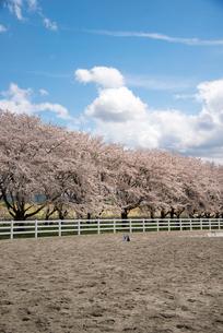 水沢競馬場の桜並木の写真素材 [FYI02750197]