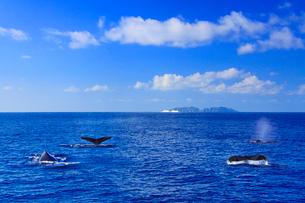 ザトウクジラのメイティングポッドと渡名喜島とフェリー琉球の写真素材 [FYI02756454]