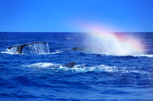 ザトウクジラのメイティングポッドのレインボーブロウの写真素材 [FYI02756858]