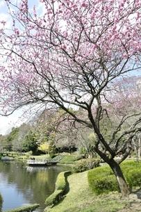 春爛漫の公園の写真素材 [FYI02810002]