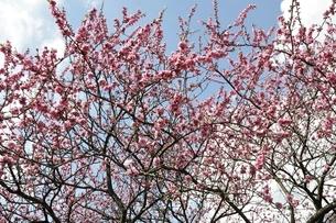 モモの花の写真素材 [FYI02810004]
