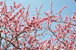 モモの花の写真素材 [FYI02810005]
