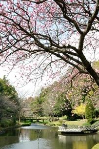 春爛漫の公園の写真素材 [FYI02810008]