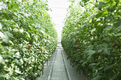 トマトの温室の写真素材 [FYI02810758]