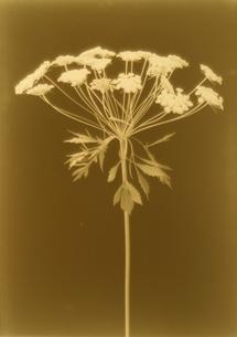 白い花 セピアの写真素材 [FYI02816228]