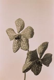 2輪のラン科のバンダの花(B&W)の写真素材 [FYI02816291]