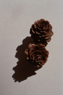 Pine cornsの写真素材 [FYI02816296]