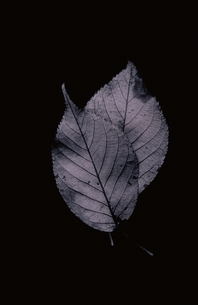 LEAF OF CHERRY BLOSSOMSの写真素材 [FYI02816488]