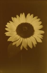 1輪のひまわりの花(セピア)の写真素材 [FYI02816493]