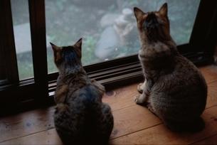 動物 ネコ 二匹 背中 窓際 庭の写真素材 [FYI02816568]