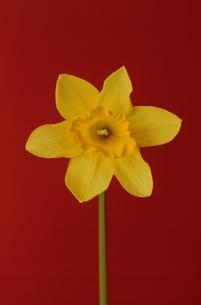 1輪のスイセンの花の写真素材 [FYI02816626]