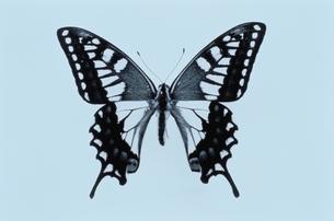 SWALLOWTAIL BUTTERFLYの写真素材 [FYI02816666]
