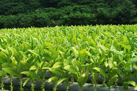 タバコ畑の写真素材 [FYI02816697]