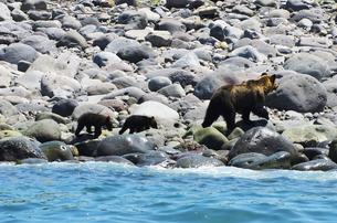 ヒグマの親子と海の写真素材 [FYI02816834]