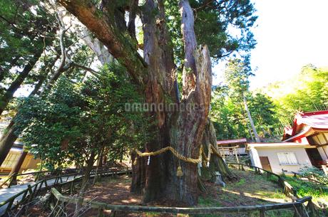 杉の大杉の写真素材 [FYI02816937]