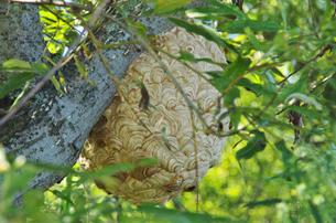 スズメバチの巣の写真素材 [FYI02816992]
